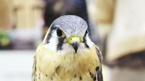 Den videopd lannerfalken, den Falco biarmicusen, medelformatfågeln av rovslutet sköt upp arkivfilmer