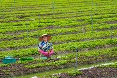 Den vietnamesiska kvinnan planterar ut den unga mintkaramellen Fotografering för Bildbyråer