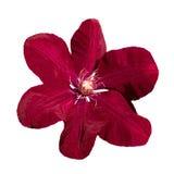 Den Ville de Lyon för den purpurfärgade klematins blomman isolerade tätt upp på vit Arkivfoton