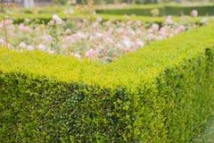Den vintergröna buxbomhäcken smyckar en rosträdgård arkivbilder