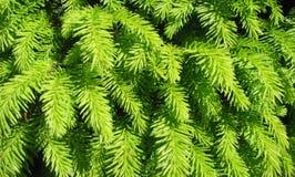 Den vintergröna piceaen abies liten ädelsten` för `, Arkivbilder