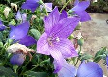 Den violetta blomman för morgonhärlighet Arkivbilder