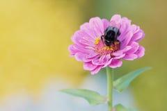 den violetta dahliablomman med stapplar biet på den arkivfoton
