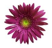 Den violetta gerberablomman på vit isolerade bakgrund med den snabba banan closeup Inget skuggar För design arkivfoton