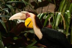 Den virvlade hornbillRhyticeros undulatusen eller stången-pouched virvlade hornbillen Royaltyfria Foton