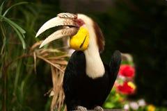 Den virvlade hornbillRhyticeros undulatusen eller stången-pouched virvlade hornbillen Arkivfoto