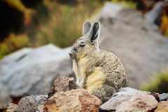 Den Viscacha vakten på a vaggar Royaltyfri Fotografi