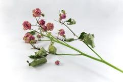 Den vissna rosen fattar på en ljus tygbakgrund Royaltyfri Fotografi