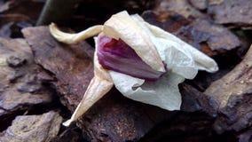Den vissnade orkidéblomman ligger på ett trädskäll royaltyfri bild