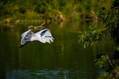 Den vita ägretthägret flyger bygga bo material för att bygga bo Arkivbild