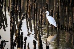 Den vita ägretthägret går jaktfiske fotografering för bildbyråer