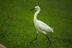 Den vita ägretthägret går på gräsmattan royaltyfri foto