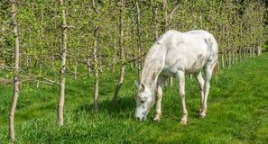 Den vita arabiska hästen betar i en fruktträdgård på våren Arkivfoton