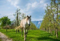 Den vita arabiska hästen betar i en fruktträdgård på våren Royaltyfri Fotografi