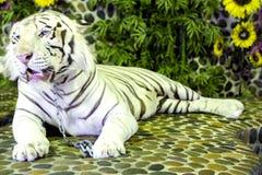 Den vita Bengal tigern i en zoo i miljon år sten parkerar Arkivbild