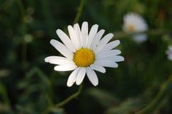 Den vita blomman Royaltyfria Foton
