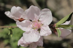 Den vita blomman av ett persikaträd Arkivbilder