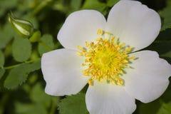 Den vita blomman av hunden steg Royaltyfria Foton