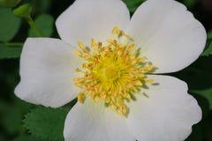 Den vita blomman av hunden steg Arkivfoton