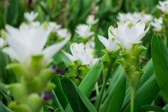 Den vita blomman för den curcumablommasiam tulpan i koloniträdgården eller parkerar för dekorerar landskapområde eller att arbeta Arkivbilder