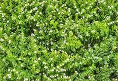 Den vita blomman rundas av mycket små gröna sidor royaltyfri fotografi