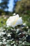 Den vita blomman steg i trädgården Blomman steg i vit färg med Royaltyfri Bild