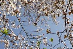 Den vita blomningen för vår mot blå himmel Mandelträd på våren, nya vita blommor på filialen av fruktträdet Royaltyfri Bild