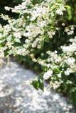 Den vita blomningjasmin blommar med gröna sidor Arkivfoto