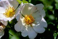 Den vita blomningmakrobilden med kärnar ur korn fotografering för bildbyråer