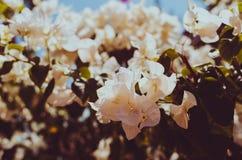 Den vita bougainvillean i trädgården eller naturen parkerar tappning t Royaltyfri Foto