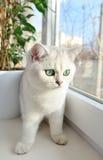 Den vita brittiska kattungen med gröna ögon sitter på fönsterbrädan royaltyfri foto