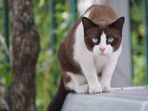Den vita bruna katten är den stirriga inte blinken arkivbilder
