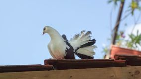den vita duvan sitter på taket Arkivfoton