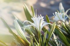 Den vita dyn flowers/Hymenocallis liriosme/spindellilyen/och en stråle av ljus Arkivfoto