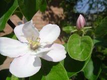 Den vita färgen av kvittenträd Arkivfoto