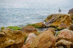 Den vita fiskmåsen sitter på stenen i havet Arkivbild
