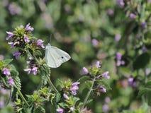 Den vita fjärilen på för gåsplåga för vita blommor plan för närbild stort samlar nektar Royaltyfria Bilder