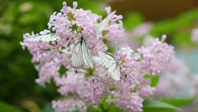Den vita fjärilen sitter på blommande lila Kålfjäril Royaltyfria Bilder