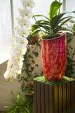 Den vita fjärilsorkidén och den härliga vasen royaltyfria bilder