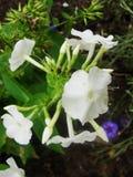 Den vita floxen blommar i trädgården Denna är blommor av phloxen Det är temat av säsonger Royaltyfria Bilder