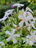 Den vita floxen blommar i trädgården Denna är blommor av phloxen Det är temat av säsonger Arkivfoto