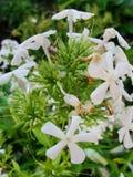 Den vita floxen blommar i trädgården Denna är blommor av phloxen Det är temat av säsonger Royaltyfri Foto