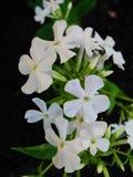 Den vita floxen blommar i trädgården Denna är blommor av phloxen Det är temat av säsonger Royaltyfri Fotografi