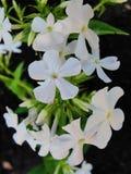 Den vita floxen blommar i trädgården Denna är blommor av phloxen Det är temat av säsonger Fotografering för Bildbyråer