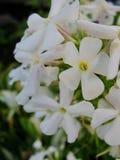Den vita floxen blommar i trädgården Denna är blommor av phloxen Det är temat av säsonger Royaltyfria Foton