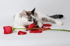 Den vita fluffiga blåögda katten som ligger på en vit bakgrund i ett behagfullt, poserar med en röd ros och kronblad Royaltyfria Foton