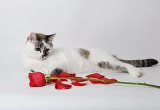Den vita fluffiga blåögda katten som ligger på en vit bakgrund i ett behagfullt, poserar med en röd ros och kronblad Royaltyfri Foto