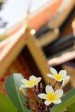 Den vita frangipanien (plumeria) blommar framme av den buddistiska templet Royaltyfria Bilder