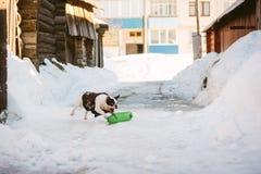 Den vita franska bulldoggen spelar med den gröna flaskan royaltyfria bilder