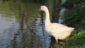 Den vita gåsen med det orange munanseendet bredvid dammet, är det en stor waterbird med en lång hals lager videofilmer